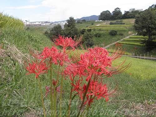 ヒガンバナの後ろに見えるのが棚田と村立中学校