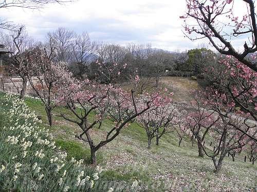 梅の花の季節にはまだエノキは葉を落としたまま