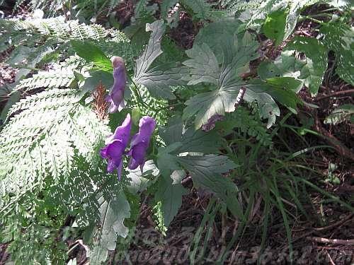 尾根道で咲くトリカブト