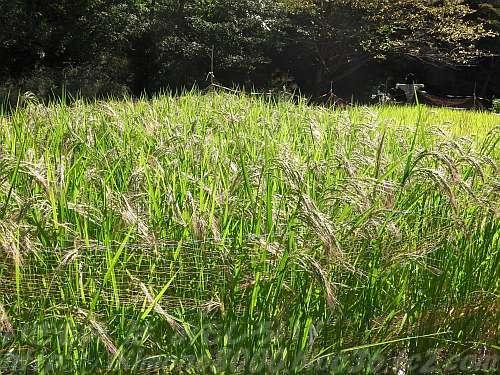 小さな田んぼの稲も色づいてきました