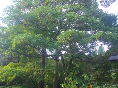 タブの木1