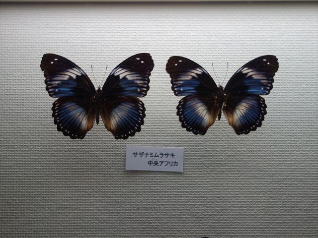 Sサザナミムラサキ_R