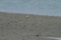 オオソリハシシギ