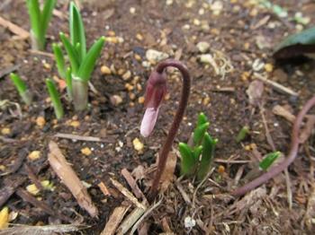 シクラメンコウム 花