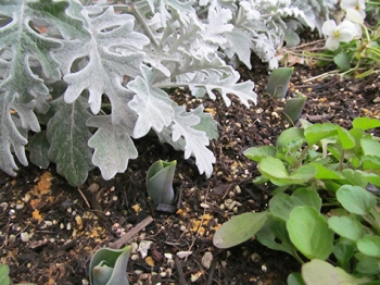 花壇のチューリップ発芽