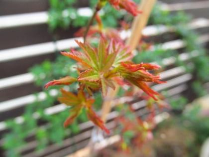 イロハモミジ 新芽