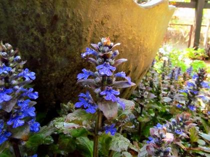 アジュガ開花