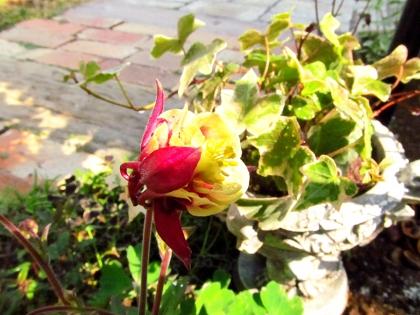 オダマキ開花