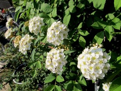 コデマリ 開花