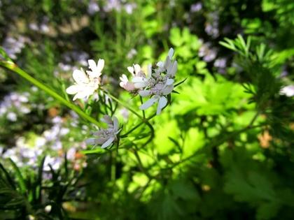 コリアンダー 開花