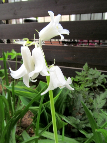 シラー 開花