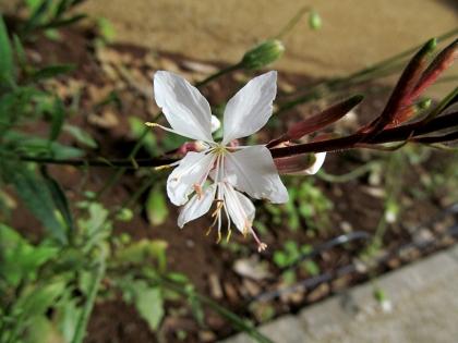 ガウラ 花