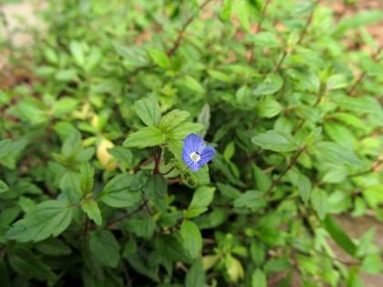 ベロニカ オックスフォードブルー 花
