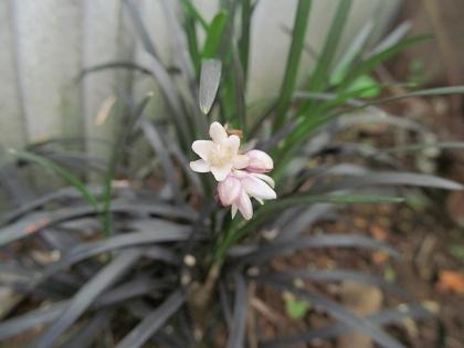 黒龍 開花