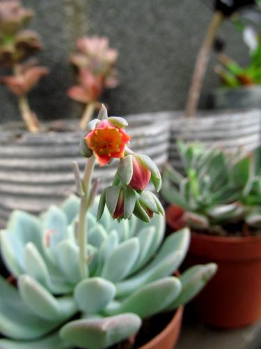 エケベリア(立田) 花