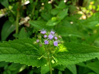 ユーパトリウム 開花