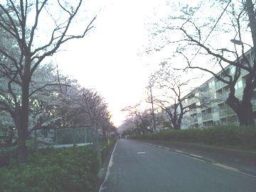 夕方の桜2