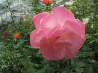 2014-09-21薔薇-008