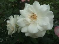 2014-09-21薔薇-027
