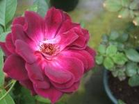 2014-09-21薔薇-038