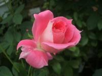 2014-09-21薔薇-036