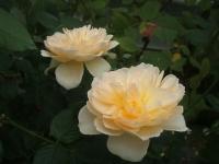 2014-09-21薔薇-034
