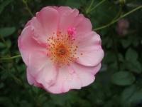 2014-09-21薔薇-035