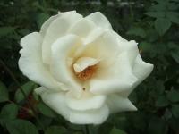 2014-09-21薔薇-033