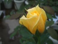 2014-09-21薔薇-042