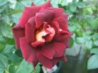 2014-09-21薔薇-040