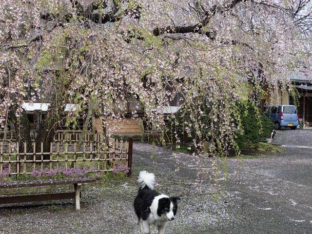 葉桜の枝垂れ桜