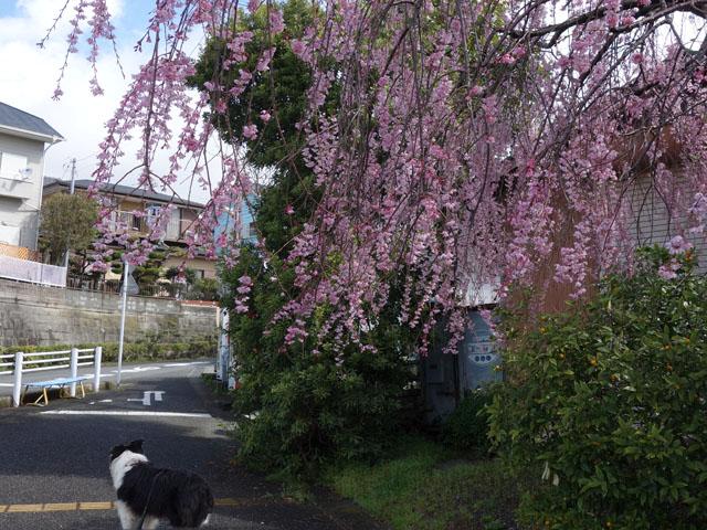 ちょっと赤っぽい枝垂れ桜