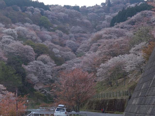 下からの吉野桜