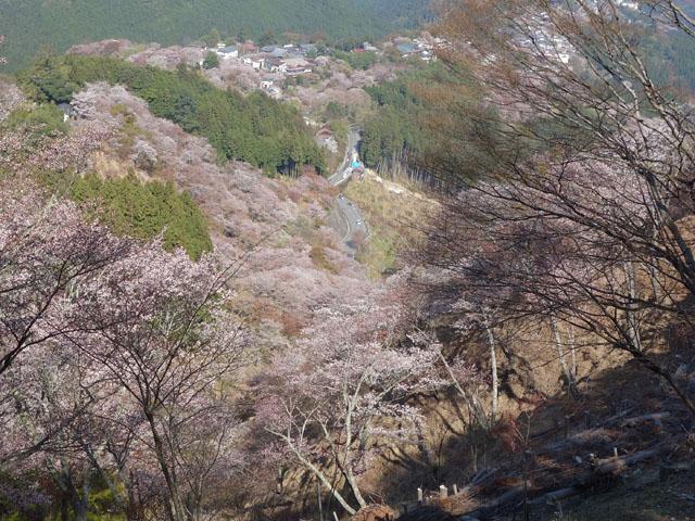 上からの吉野桜