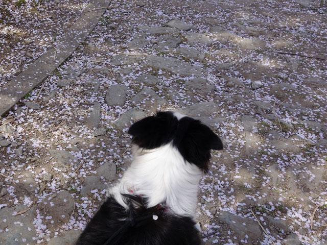 花吹雪が凄い