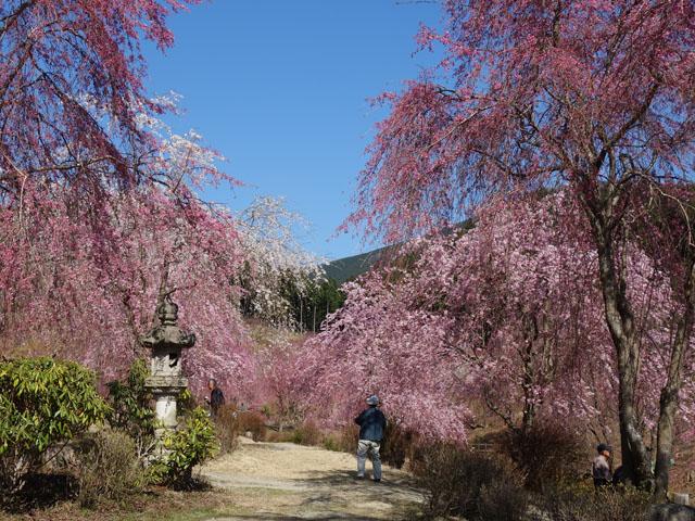 千本枝垂れ桜