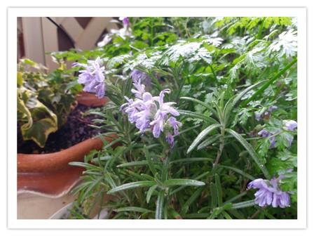 ローズマリーの花*