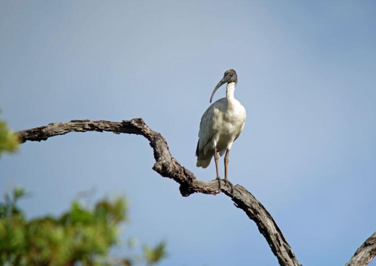 オーストラリアクロトキ