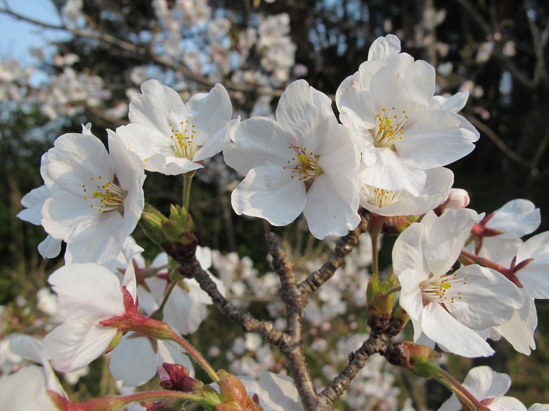 2014・4・10_08●桜