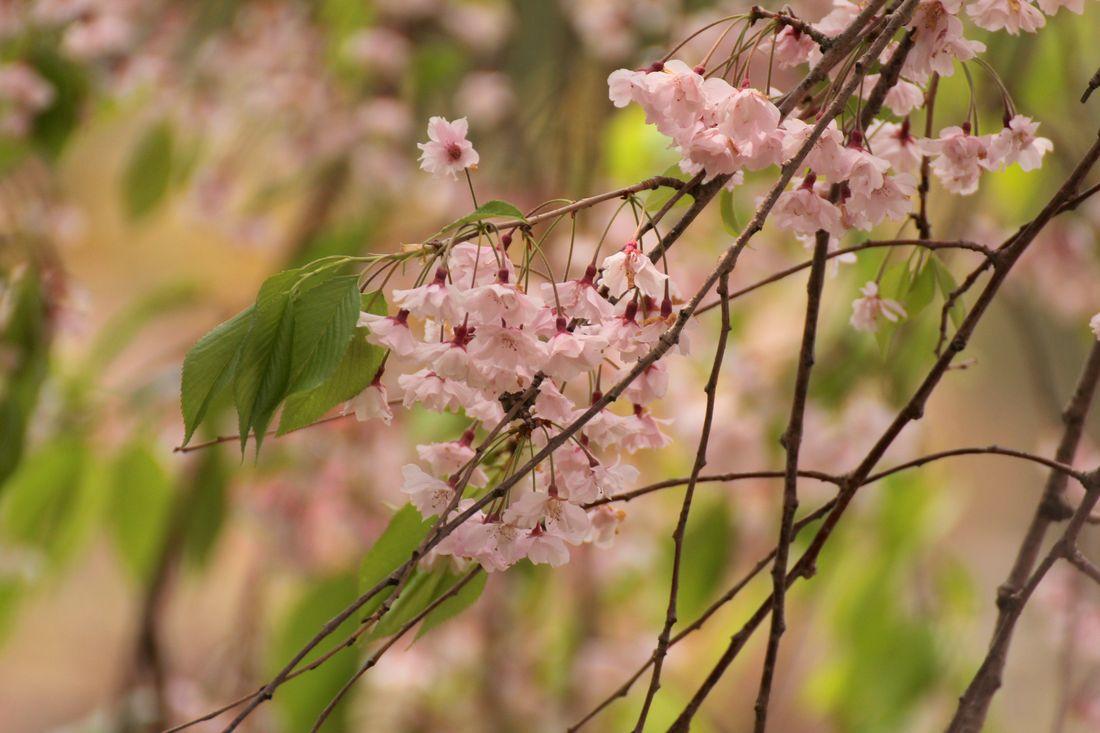 2014・5・2園R_117A●S枝垂れ桜