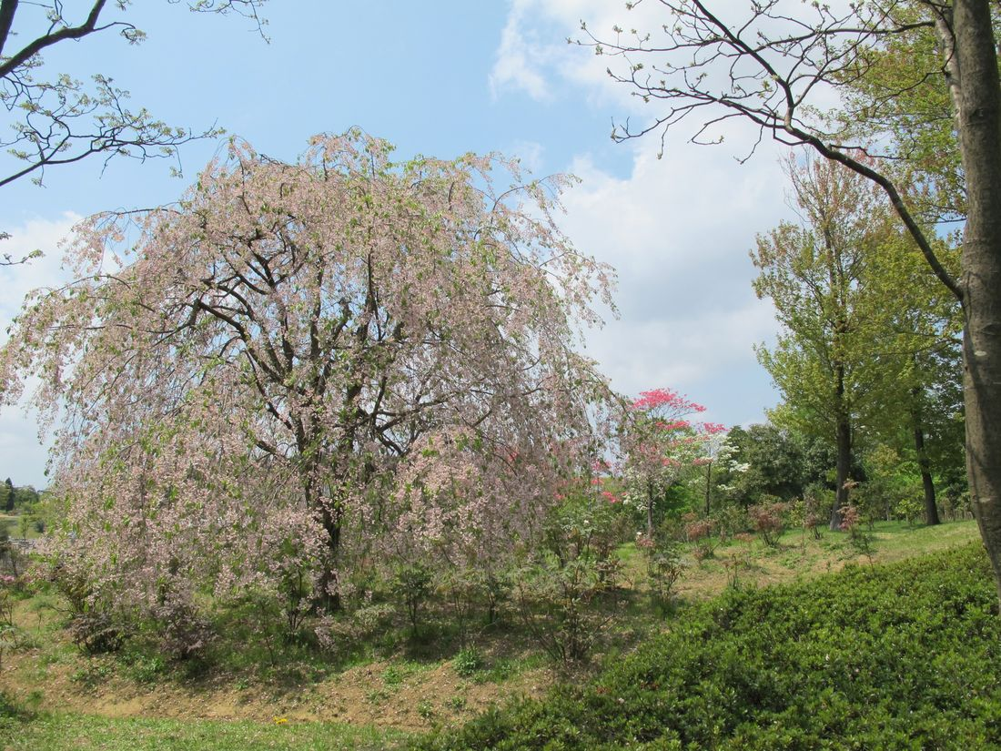 2014・5・2G園HR_32A●S枝垂れ桜