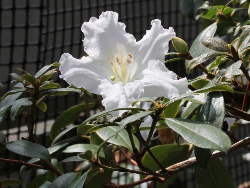 ロードデンドロンrhododendron ciliicalyx
