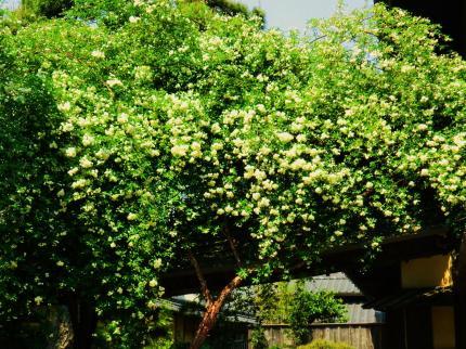 萬三の白モッコウバラ祭5