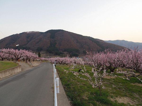 2014-4-14松代アンズ (5)