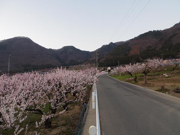 2014-4-14松代アンズ (4)