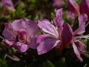 ミアマキリシマが咲き始め2-s
