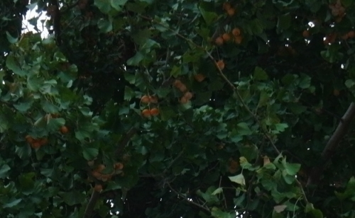 ぎんなんの木