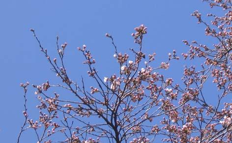 H260409開花