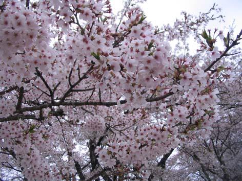 H260420桜