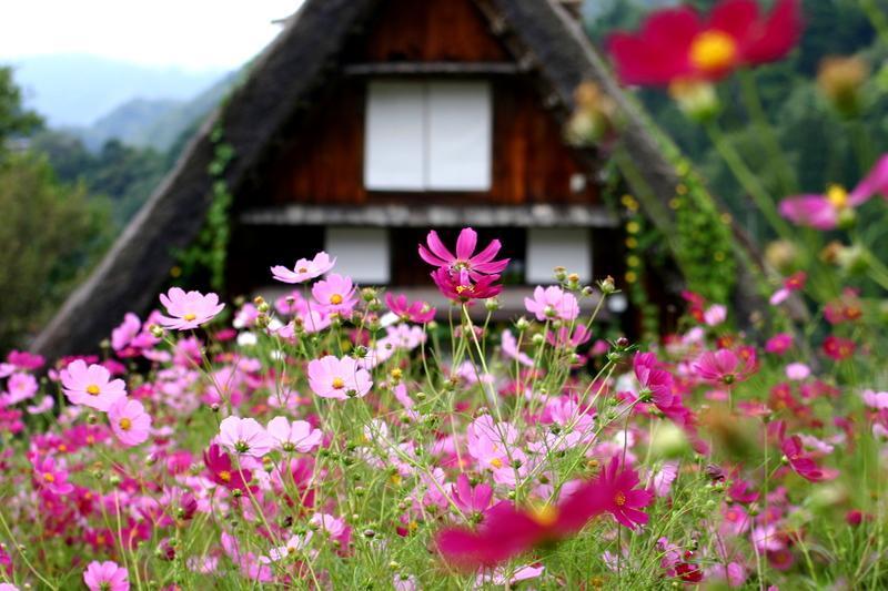 秋の風物詩 稲架掛け風景が見ごろですよー(^O^)/ 世界遺産 白川郷合掌集落  ①